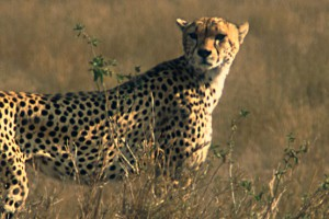 CHEETAH_LOOKING