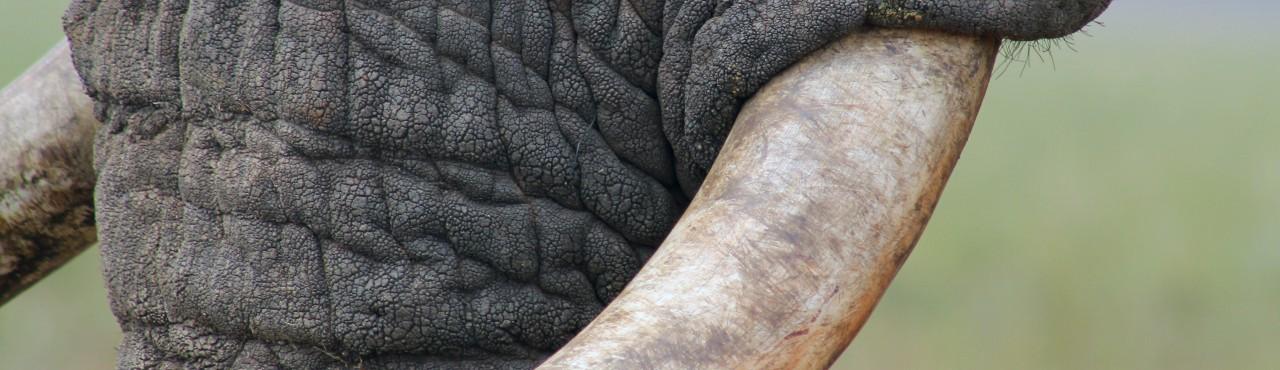 elephant_tusk