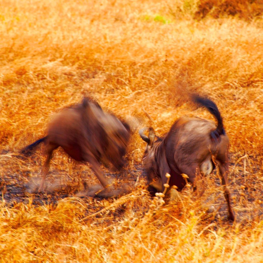 Wildebeest rutting
