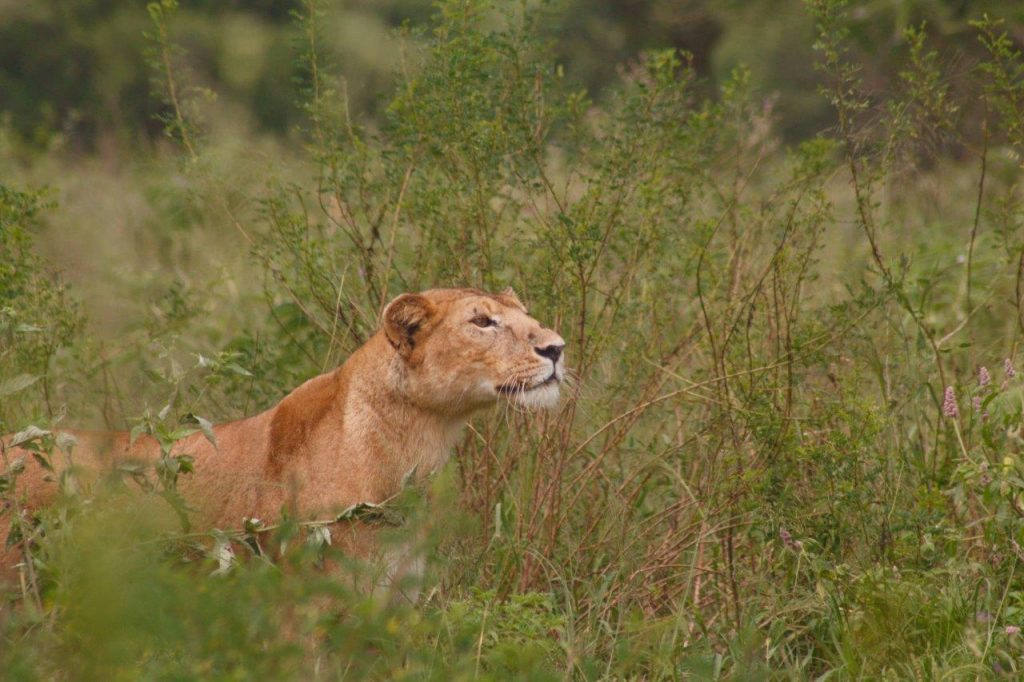 A stalking lioness