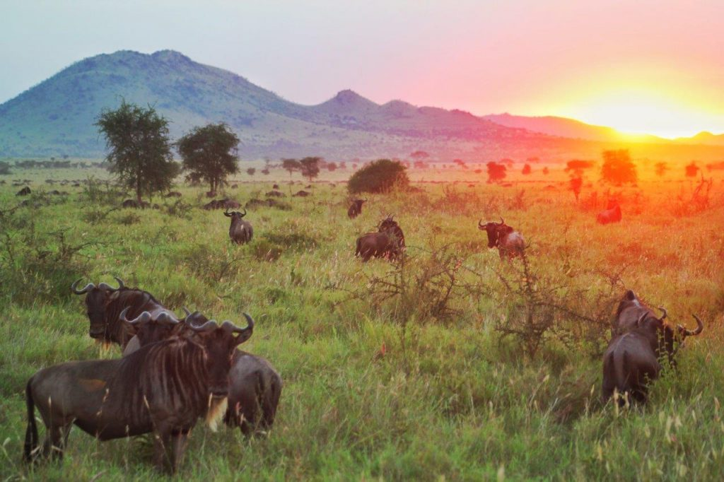 Wildebeest in front of the sunset